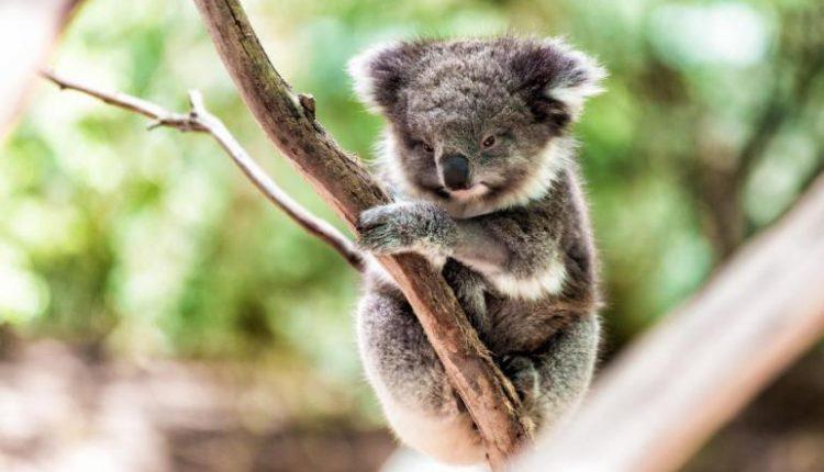no-more-80000-koalas-remain-wild-according-australian-koala-foundation
