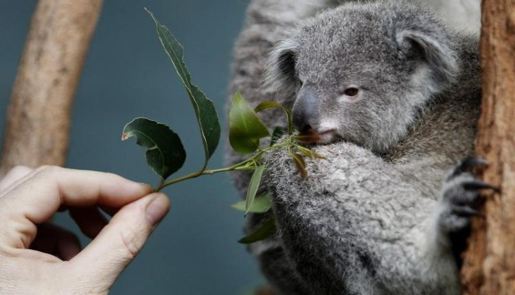 zoo-keeper-offers-eucalyptus-leaves-baby-koala-named-boonda-wildlife-world-sydney-june-28-2011