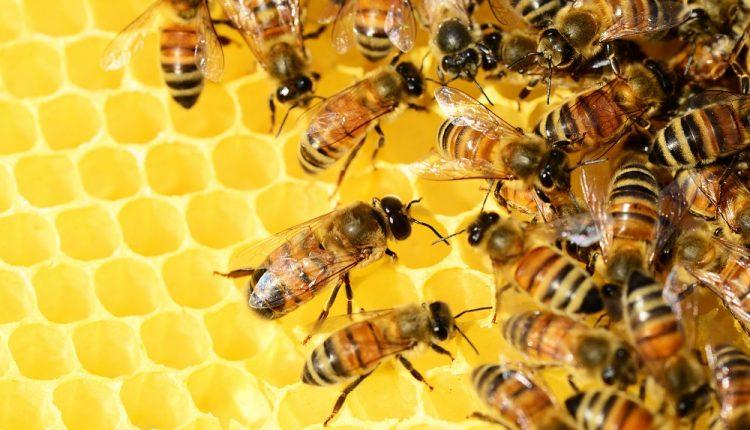 abeja-miel-polly-dot-pixabay
