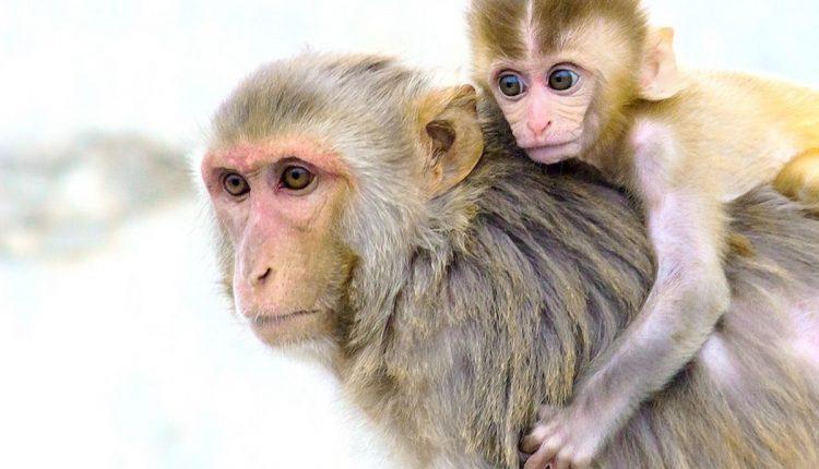 Animals Rhesus Macaque Mammals Monkey Nature