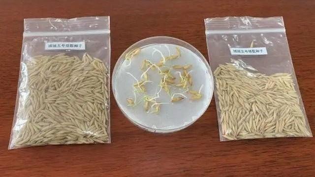 cultivo-espacial-arroz-china-768×768