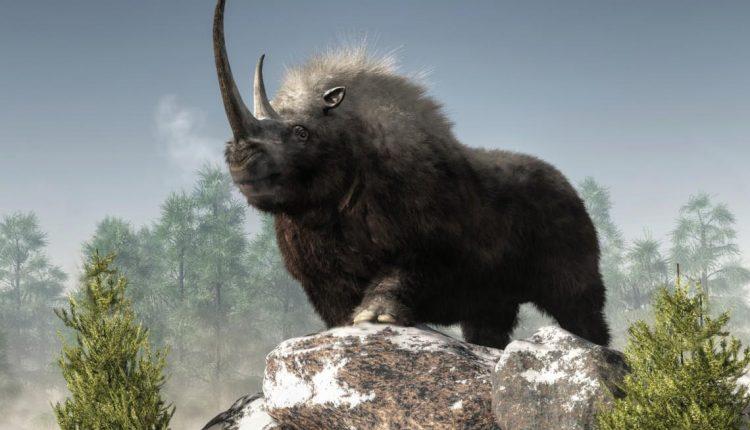 rinoceronte-lanudo_0
