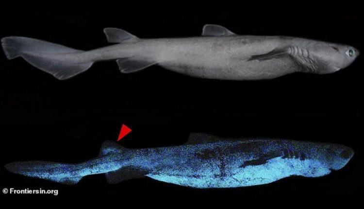tiburon-brillante_0